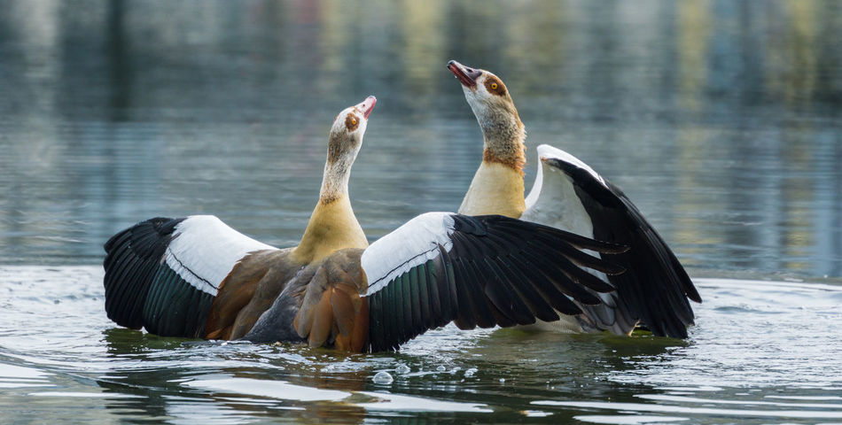 Close-up of two Egyptian Geese with spread Wings in a Lake Alopochen Aegyptiaca Beak Egyptian Geese Geese Nature Nile Goose Animal Themes Animals In The Wild Birds Close-up Closeup Egyptian Goose Goose Group Of Animals Lake Nile Geese Open Season  Spread Wings Spring Two Animals Water Water Bird Wildlife Wings