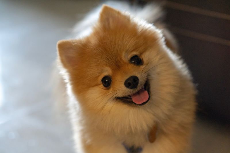Pomeranian One Animal Animal Themes Animal Mammal Dog Canine Domestic Pets Portrait Domestic Animals No People Looking At Camera Vertebrate Indoors  Close-up Brown Animal Body Part Small Lap Dog Cute One Animal Animal Themes Animal Mammal Dog Canine Domestic Pets Portrait Domestic Animals No People Looking At Camera Vertebrate Indoors  Close-up Brown Animal Body Part Small Lap Dog Cute