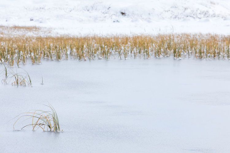 Frozen lake with close-up of reed Winter Cold Temperature Beauty In Nature Snow No People Landscape Scenics - Nature Tranquility Tranquil Scene Day Nature Environment Arctic Frozen Frozen Water Lake Outdoors Ice Waterfront Grass Plant Focus On Foreground Reed - Grass Family Pastel Colored Close-up