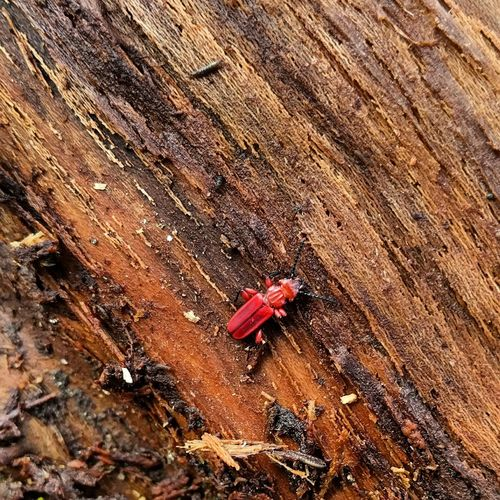 High Angle View Red Close-up Backgrounds No People Freshness Nature Bugslife Insect Of The Day Entomology Entomology Wednesday Fragility Red Flat Bark Beetle