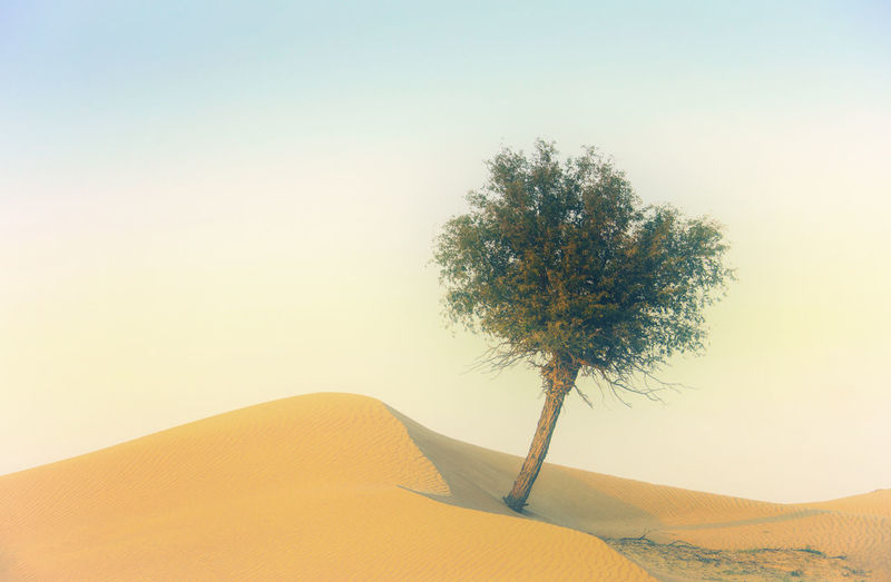 Tree in desert against clear sky
