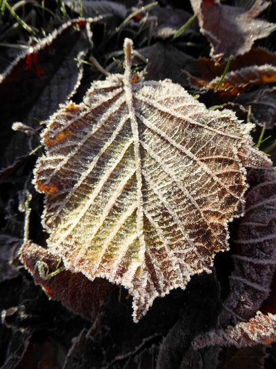 Frost Leaf Nature Close-up Plant Outdoors No People Day Beauty In Nature Autumn Check This Out EyeEm Nature Lover EyeEm Best Shots EyeEm Gallery Macro From My Point Of View EyeEm Belfast Northern Ireland Beauty In Nature Eye4photography  Nature EyeEmBestPics Maximum Closeness Different Perspective