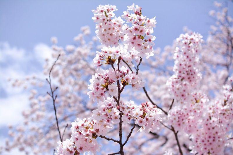 Japan Photography Japan Sakura Blossom Sakura Flower Flowering Plant Plant Fragility Freshness Blossom Growth