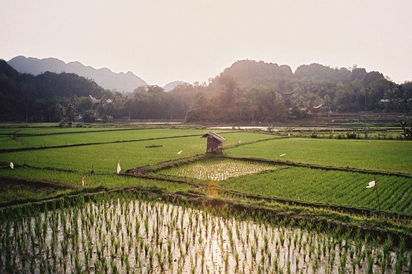 Agriculture Field Farm Landscape Filmisnotdead Nature Rice Paddy Beauty In Nature Scenics INDONESIA Sulawesi Cultivated Land Growth Tranquility Crop  Minolta Mountain Terraced Field No People Day EyeEmNewHere Nature Film Photography Film Analogue Photography