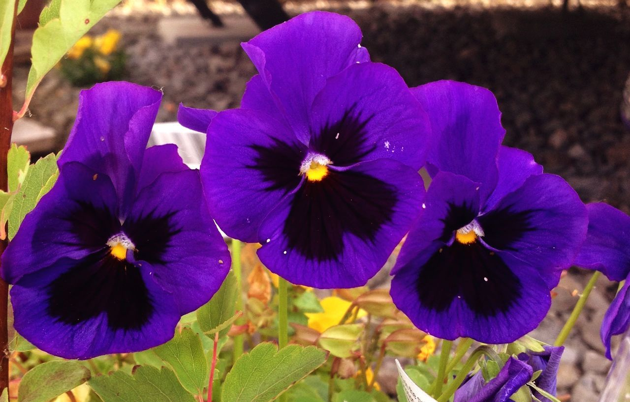 flower, petal, fragility, beauty in nature, growth, freshness, purple, flower head, nature, plant, blooming, day, no people, outdoors, close-up, petunia