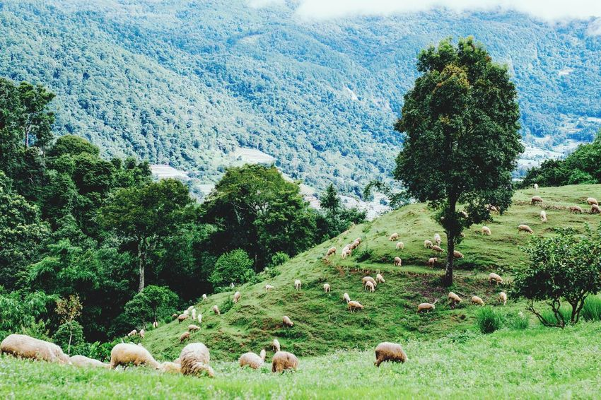 Sheep Large Group Of Animals Nature Beauty In Nature Animal Themes Background Pasture Agriculture Mountain Green Color Pasture LandLivestock Tree Winter Landscape Grass Winter Day Nature Beauty In Nature Green ColorTree No People Flock Of Sheep Grazing Outdoors
