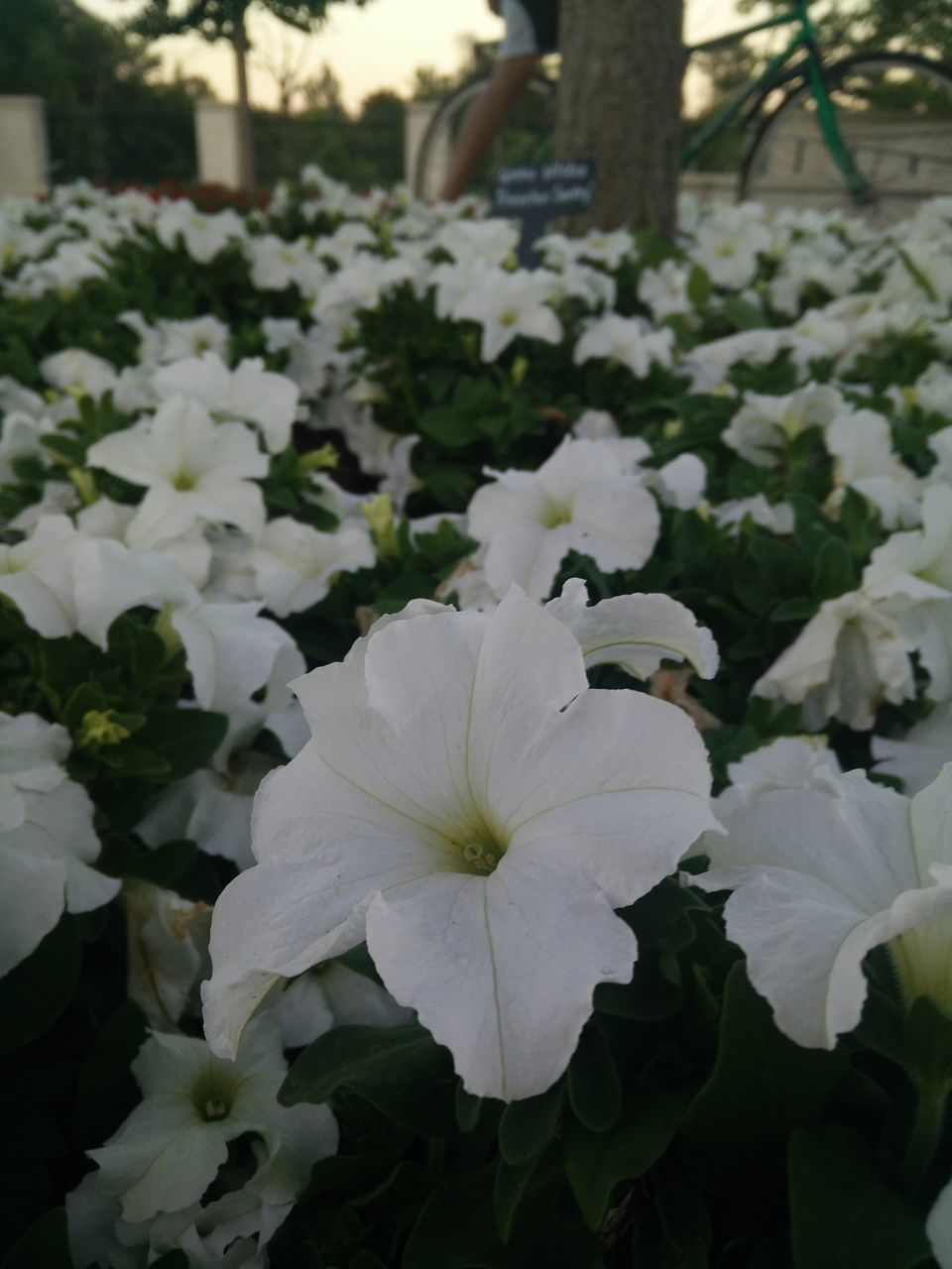 flower, plant, growth, white color, petal, beauty in nature, nature, flower head, blooming, no people, freshness, fragility, outdoors, day, close-up, periwinkle, petunia