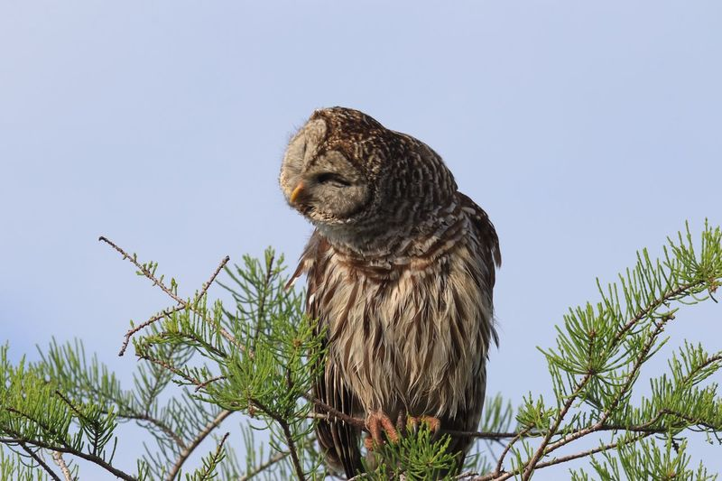 Low angle view of owl perching on twig against clear sky at everglades national park
