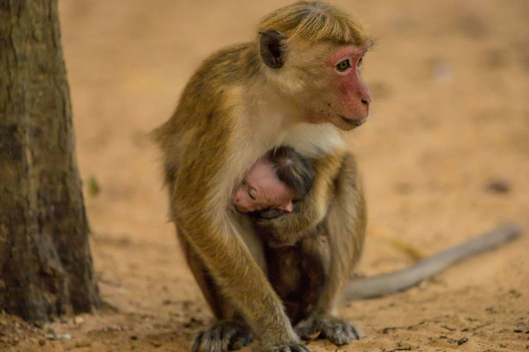 Close-up of monkey with infant sitting on ground