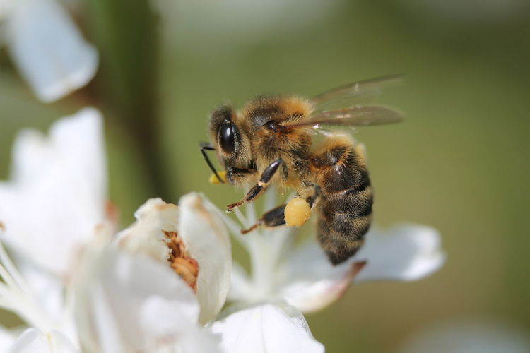 Close-up of honey bee pollinating on white flower