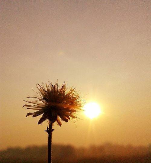 Morning dandelion Sunsetclicks Macro_perfection Macro Macro_vision VSCO Vzcomood Vzcomacro Sunsetvision Artobjectiva Photooftheday AlishSphoto