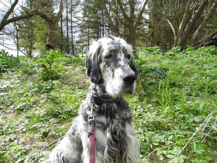 Sapphire Dog Dogs Pet Portrait Pets Corner Pet Photography  Pets Family Streamzoofamily Animal Photography English Setter