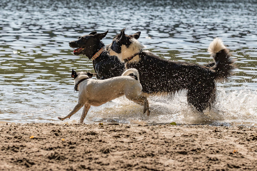 Animal Animal Themes Beach Beach For Dogs Canine Day Dog Domestic Domestic Animals Group Of Animals Mammal Motion Nature No People Pets Running Splashing Two Animals Vertebrate Water