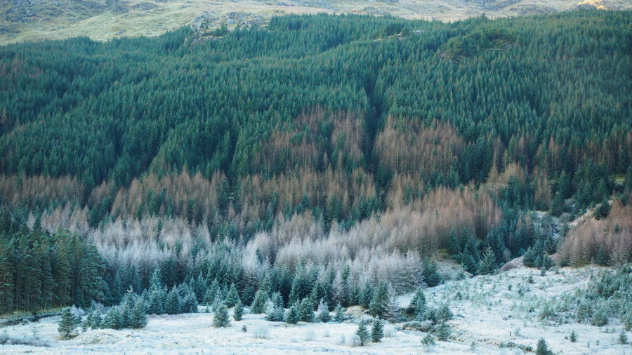 Panoramic view of pine trees in forest during winter