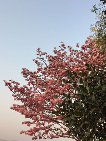 Pink Flowers Beautiful Day Beauty In Nature Blossom Blue And Pink Branch Clear Sky Close-up Day Flower Fragility Fresh Bread Freshness Growth Low Angle View Nature No People Outdoors Pink Flowers Pink On Blue Sky Pınky Sky Springtime Sweet Pink Tree