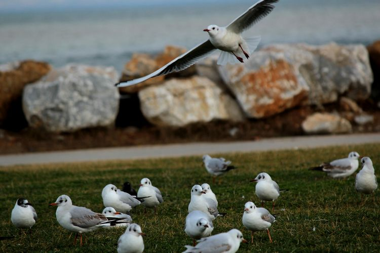 kuşlar... martılar... Seagull Seaguls Yalovasahili çimenler 11/02/2016