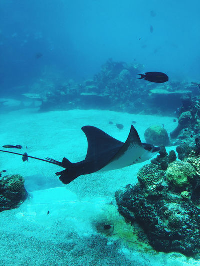 Coral reef. stingray