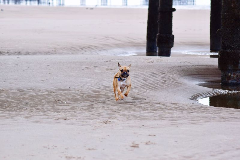 Play time at the beach One Animal Domestic Animals Animal Themes Dog Outdoors Sand Pets Beach No People Day Mammal DSLR Nikonphotography Nature Amateurphotography Nikon Photooftheday Blackpool