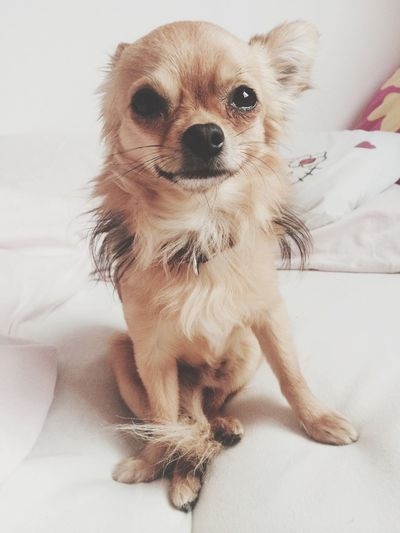 🐶 Pets Dog Bed At Home Chihuahua Rocky Love Cute Sweet Adorable