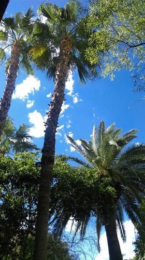 Las Vegas Tuskany Palm Trees Look Up Clouds