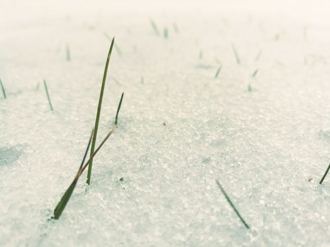 Snow Winter Cold Temperature No People Nature Outdoors Close-up Landscape Snowing Beauty In Nature Day Grass In Snow Reach Out HuaweiP9