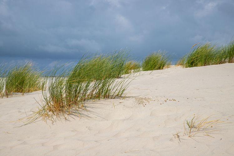 Dune grass on