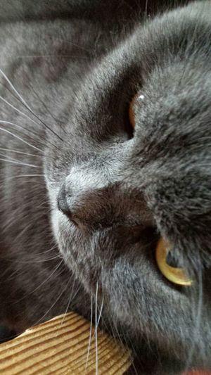 Flauschige Katze der Rasse Britisch Kurzhaar Fell Flauschig  Katze Katzer Edel Britisch Kurzhaar Rasse Zucht Rassekatzen One Animal Domestic Cat Pets Domestic Animals Animal Themes Animal Hair Whisker No People Close-up