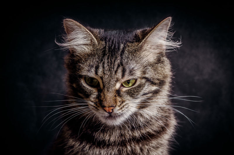 Grumpy Cat Animal Themes Black Background Close-up Day Domestic Animals Domestic Cat Feline Indoors  Looking At Camera Mammal No People One Animal Pets Portrait Studio Shot Whisker