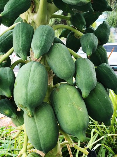Papayas with tree, unripe Papaya Unripe Fruit Unripe Papaya Papaya With Tree Green Color Healthy Eating Food And Drink Food Wellbeing Freshness No People Market Cactus Plant Part Abundance Full Frame Plant Succulent Plant Leaf Close-up Fruit Day Growth Nature