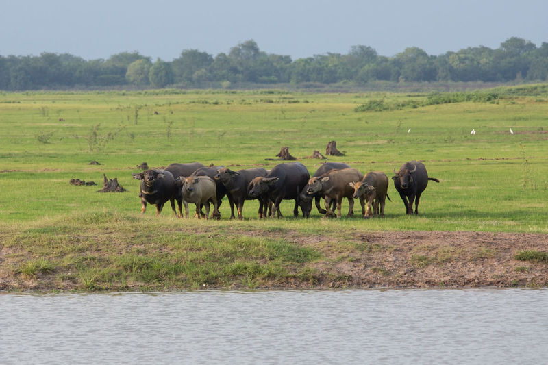 Buffalo Field Green Grass Nature Animal Water Asian  Farm Mammal ASIA Agriculture BIG Horn Wildlife Eating Strong Mud Outdoor Tropical Wild Heavy Thailand Bull Cape  Thai Black Background Rural Culture Grazing Brown Day Harvest Earth Meadow Scenic Pond River