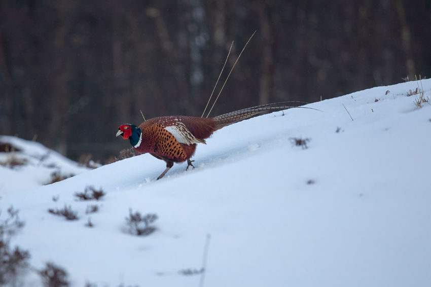 Pheasant Scotland Tadaa Community Animal Animal Themes Animal Wildlife Animals In The Wild Beauty In Nature Bird Brown Cold Temperature Day Field Focus On Foreground Land Nature No People One Animal Scottish Highlands Selective Focus Snow Vertebrate Winter