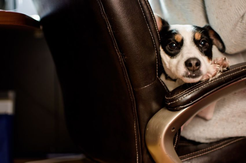 Working from home with cute dog relaxing in office chair Togetherness Cute Leather Home Business Finance And Industry Office Working From Home Dog Pets One Animal Domestic Animals Animal Themes Indoors  Mammal Day Close-up