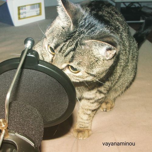 chanteuse vayana Chanteuse Chat Cat Microphone Naf Nature Indoors  Close-up No People Day Mammal Animal Themes