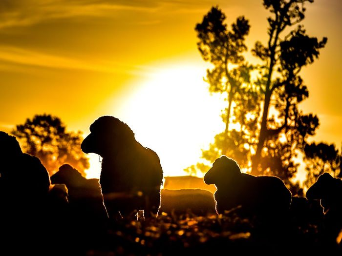 End of another day of drought Sheep Photography Drought Watch Rural Scene Farm Life Sunset Sky Plant Silhouette Tree Beauty In Nature Nature Tranquility Sunlight Back Lit