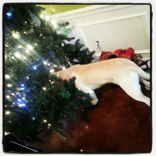 Huck won't stay out of the Christmas tree @theellenshow 12daysofgiveaways
