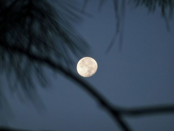Moon Pine Tree Branch Pine Needles Early Morning Sky Photography