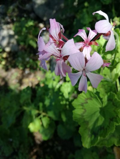 Flower Pink Color Nature Purple Close-up Plant Outdoors No People Day Beauty In Nature Flower Head Fragility Freshness