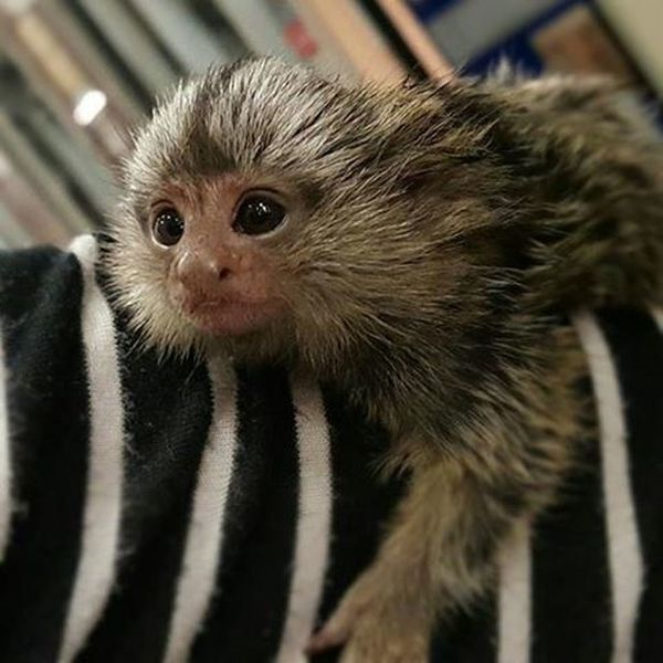 The amazing things to be seen at Lowes . Wildlife Marmoset Monkey PhotosbyTheMert PbTM