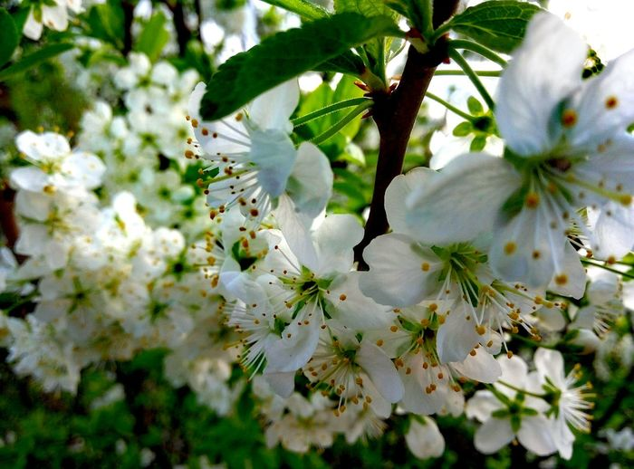 Beauty In Nature Branch Day Flower Nature No People Springtime Tree White Color