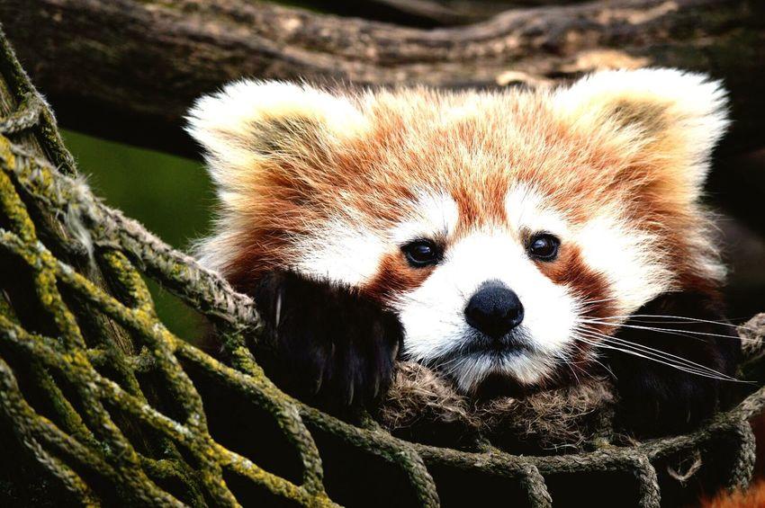 Relaxing One Animal Animal Themes Mammal Red Panda Panda - Animal Close-up Outdoors