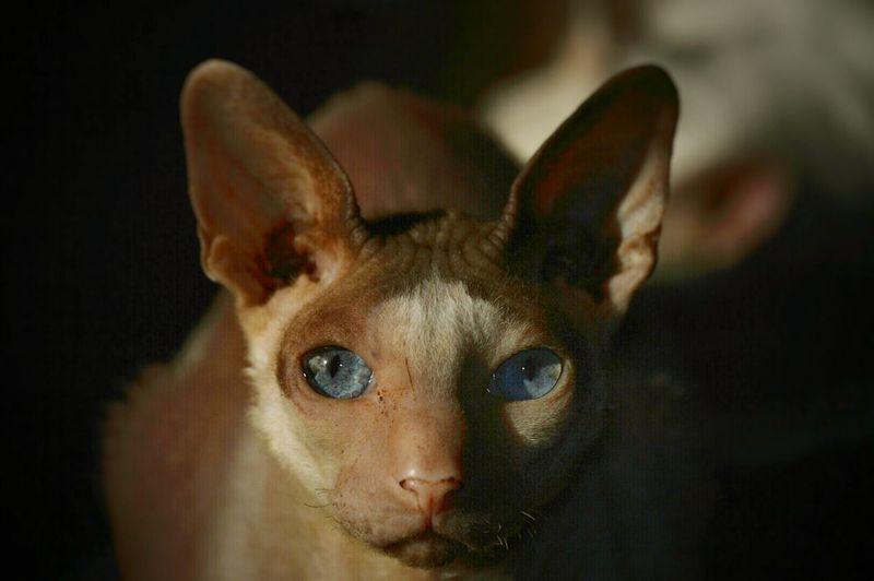 Portrait Of Sphynx Hairless Cat In Dark