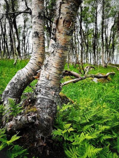 Birch trees in Hardanger Hardanger Norwegian Mountians Birch Trees Tree Tree Trunk Grass Close-up Green Color