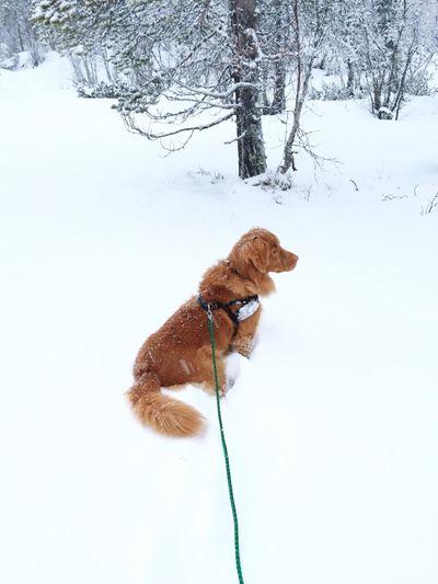 It's Cold Outside Winter Snow Dog Retriever Goldenretriever Novascotia Novascotiaducktollingretriever