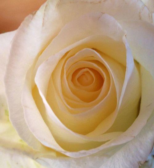 Close Up Ivory Rose Close Up Rose Ivory Rose Rose In Bloom Rosebud Soft White Ros Still Unfurling Rose White Rose Pastel Colored Flowers Pastel Power Pastel Power!
