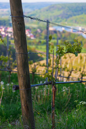 Wine Plant on a