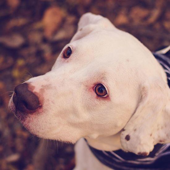 Dog Pets Animal Portrait Domestic Animals Mammal No People Close-up Outdoors Day Nature Looking At Camera Pitbull Pitbull Love One Animal Animal Themes Animal Body Part Animal Head  First Eyeem Photo