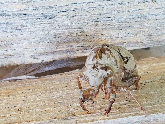 Cicada Cicada