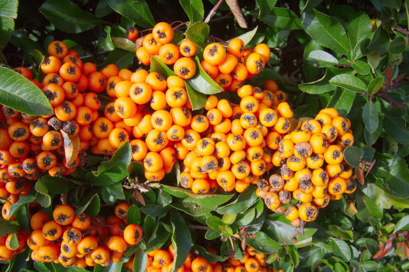 Food Fruit Food And Drink Healthy Eating Plant Part Leaf Freshness Orange Color Growth Wellbeing Plant Day Nature No People Large Group Of Objects Abundance Close-up Ripe Tree Outdoors Orange Rowanberry Pyracantha Coccinea Firethorn