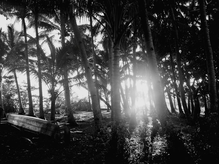 Coconut Trees Tree Low Angle View Forest Nature Outdoors No People Day Tree Area Beauty In Nature Growth
