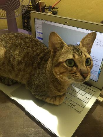 Animal Themes One Animal Pets Domestic Cat Feline Day Domestic Animals Village MacBook Preciuos Macbook Air Beautiful Cat Cat♡ Sumba Timur